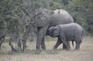 la longue gestation des éléphants